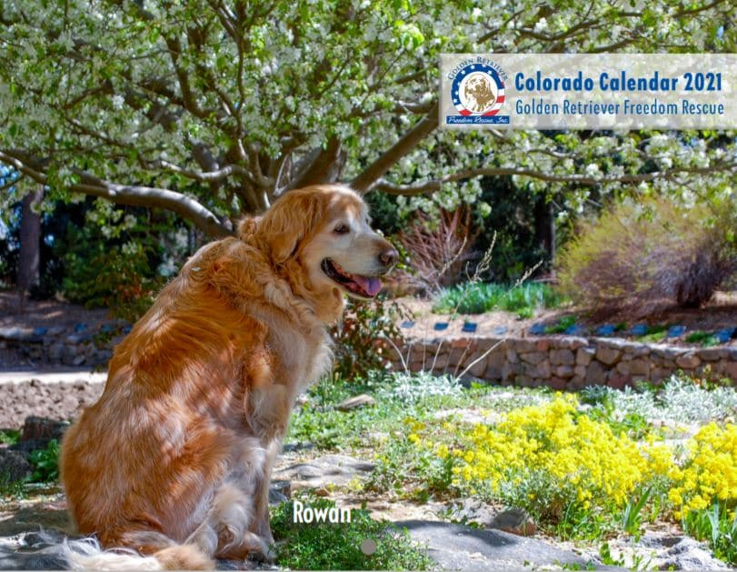 Purchase Calendar 2021 2021 GRFR Calendar Single Purchase   Golden Retriever Freedom Rescue